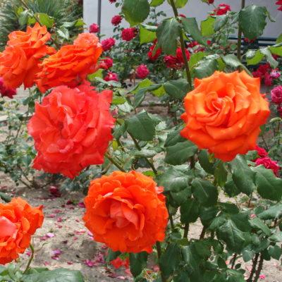 Розы в Бахчисарае