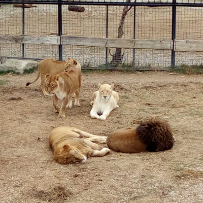 "Львы в сафари-парке ""Тайган"""