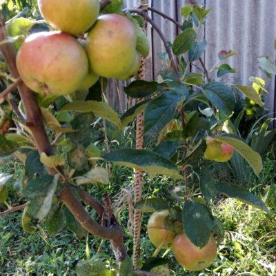 Крымские яблочки