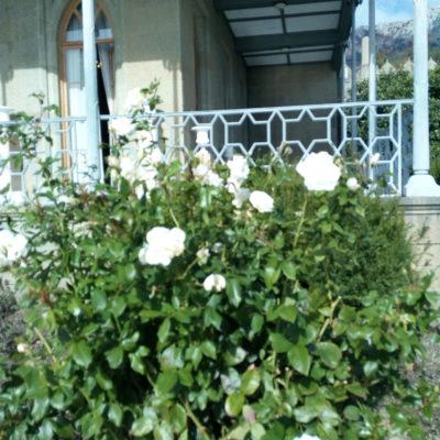 Зимняя роза около Воронцовского дворца