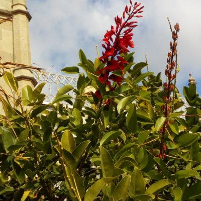 Цветет коралловое дерево