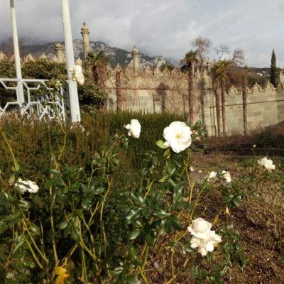 Розы в Алупкинском парке зимой
