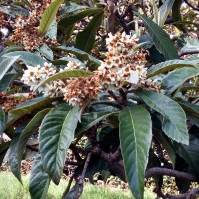 Мушмула японская цветет зимой