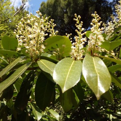 Лавровишня цветет