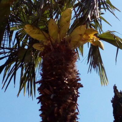 Цветы китайской вееролистной пальмы