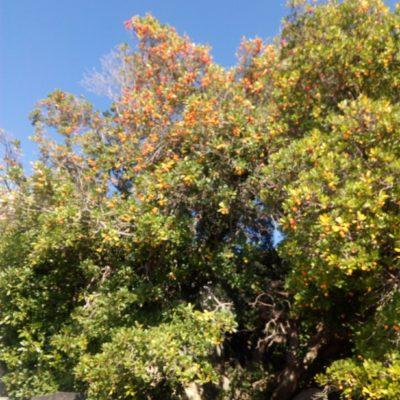 Земляничник крупноплодный осенью - плоды и цветы рядом