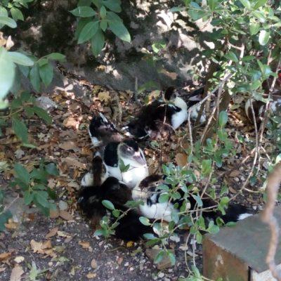 Уточка с утятами в парке Алупкинского дворца