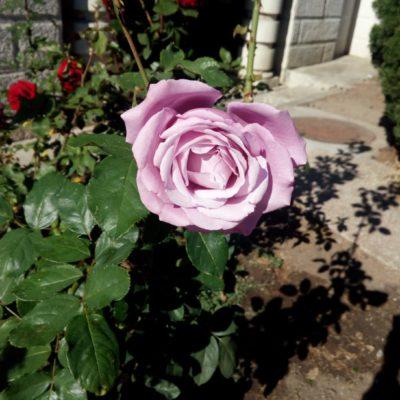 Осенняя роза в монастыре на Фиоленте