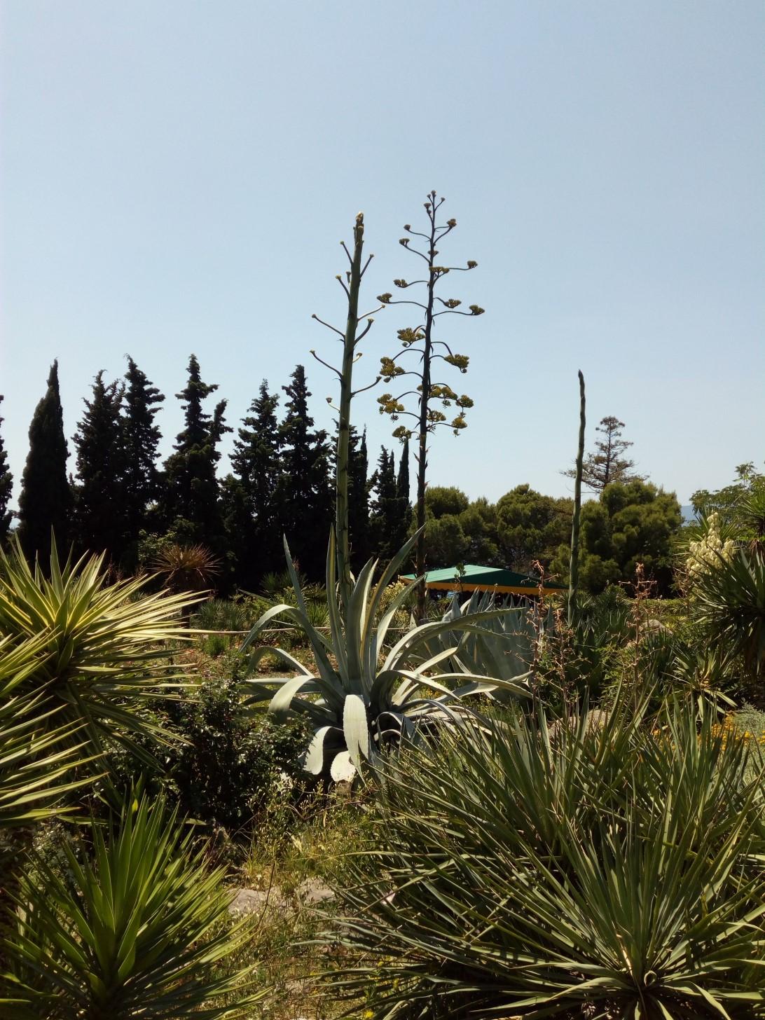 Цветет юкка в Никитском саду