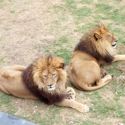 Экскурсия по «Парк львов Тайган»
