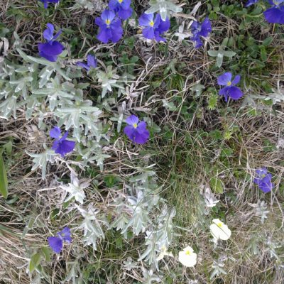 Первоцветы на Ай-Петри