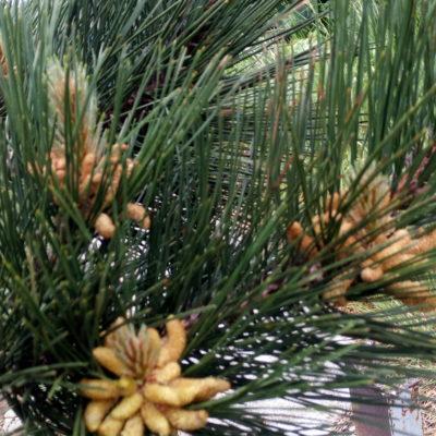 Цветет сосна крымская