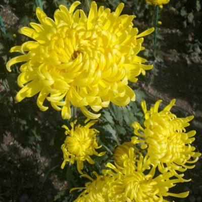 Цветок солнца - хризантема