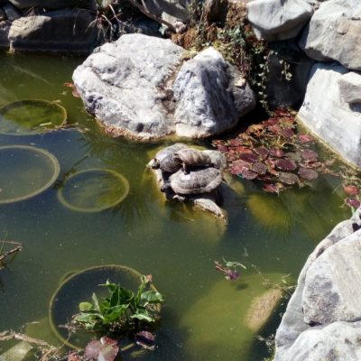 Черепахи в пруду